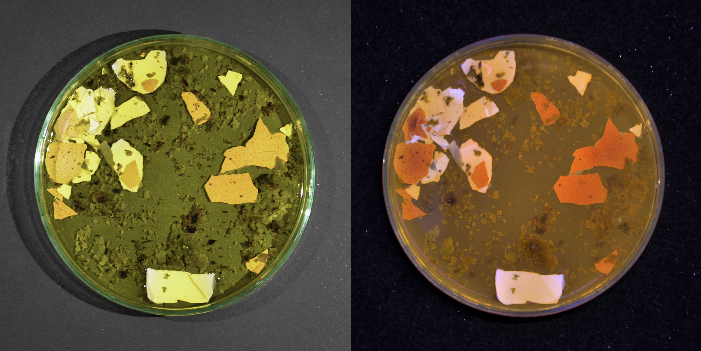 braune Eierschale und Gelbflechte in Essig + Nagellackentferner